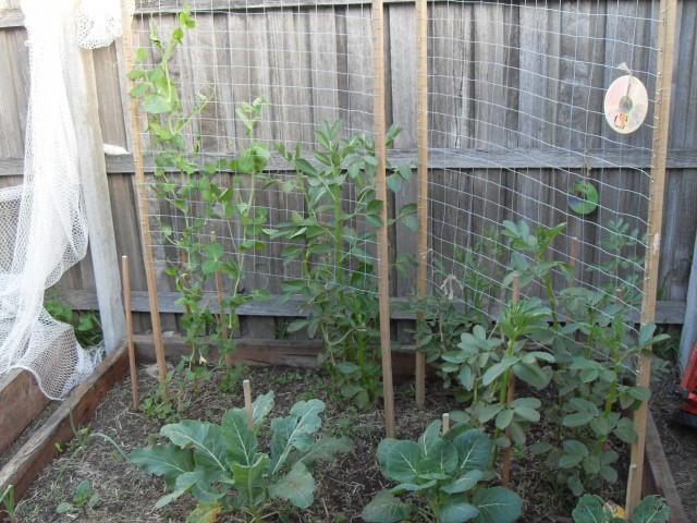 snow peas with broad beans