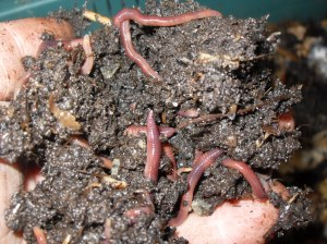 Handful of worms living on coffee grounds