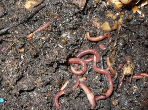 Happy and fat worms living on coffee grounds