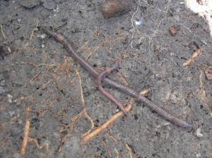 The Huge Earthworm that feeds off coffee grounds compared to normal worm