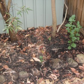 Coffee Grounds in theGarden