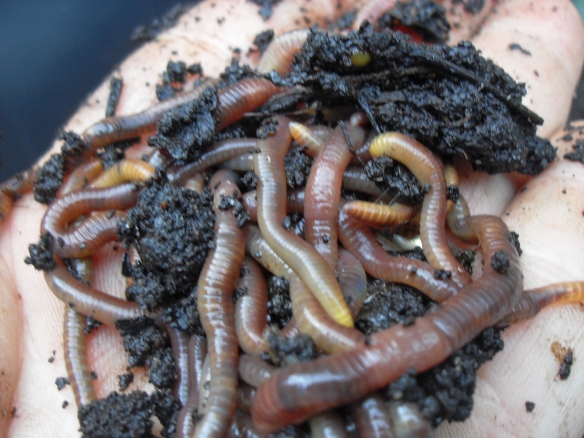 Just some of the dozens of worms that were crawling out of the coffee compost