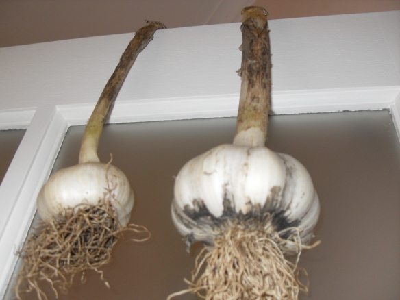 garlic grown in coffee compost hanging to dry