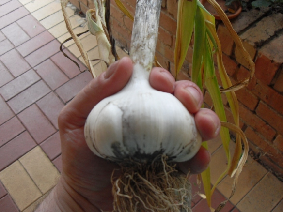 a monster garlic feed coffee compost