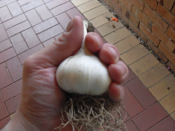 this is a normal kind of garlic