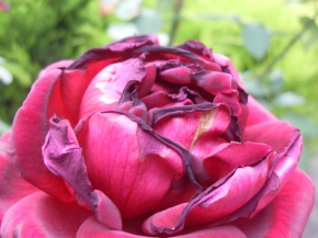 Roses and Insects – Nothing is EverPerfect!