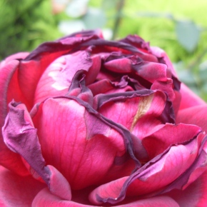 Roses and Insects – Nothing is Ever Perfect!