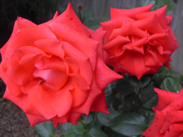 Roses with a vibrant color fueled by coffee grounds