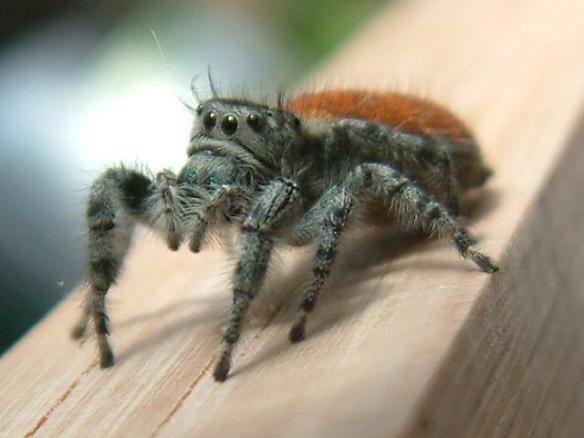 spider orange black gray