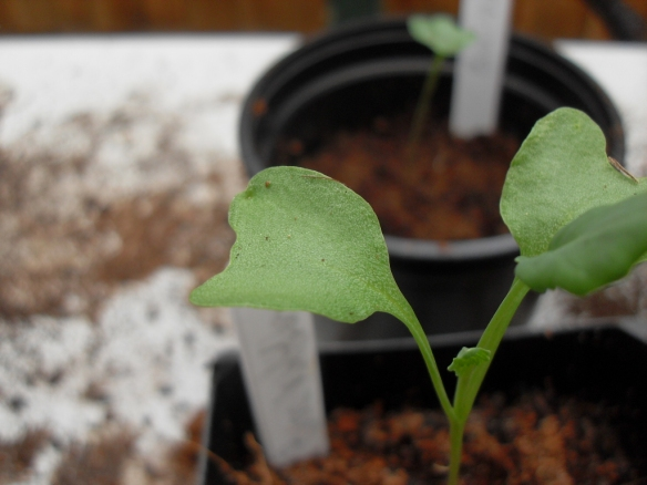 broccoli seedling close to being put into the ground