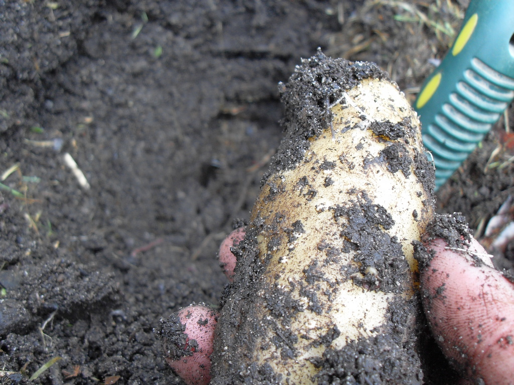 Potatoes In Tires Ground To Ground