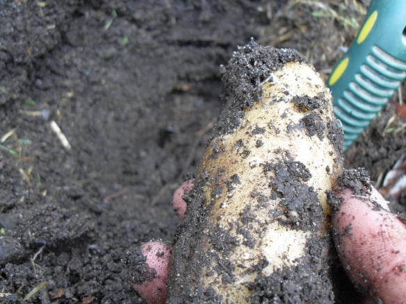 potatoes growing from car tire in coffee compost