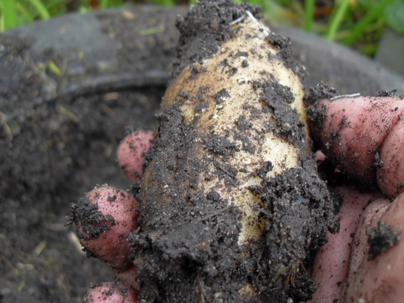 growing potatos in car tyres