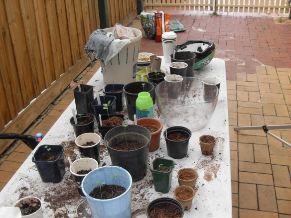 preparing-seedlings-for-planting