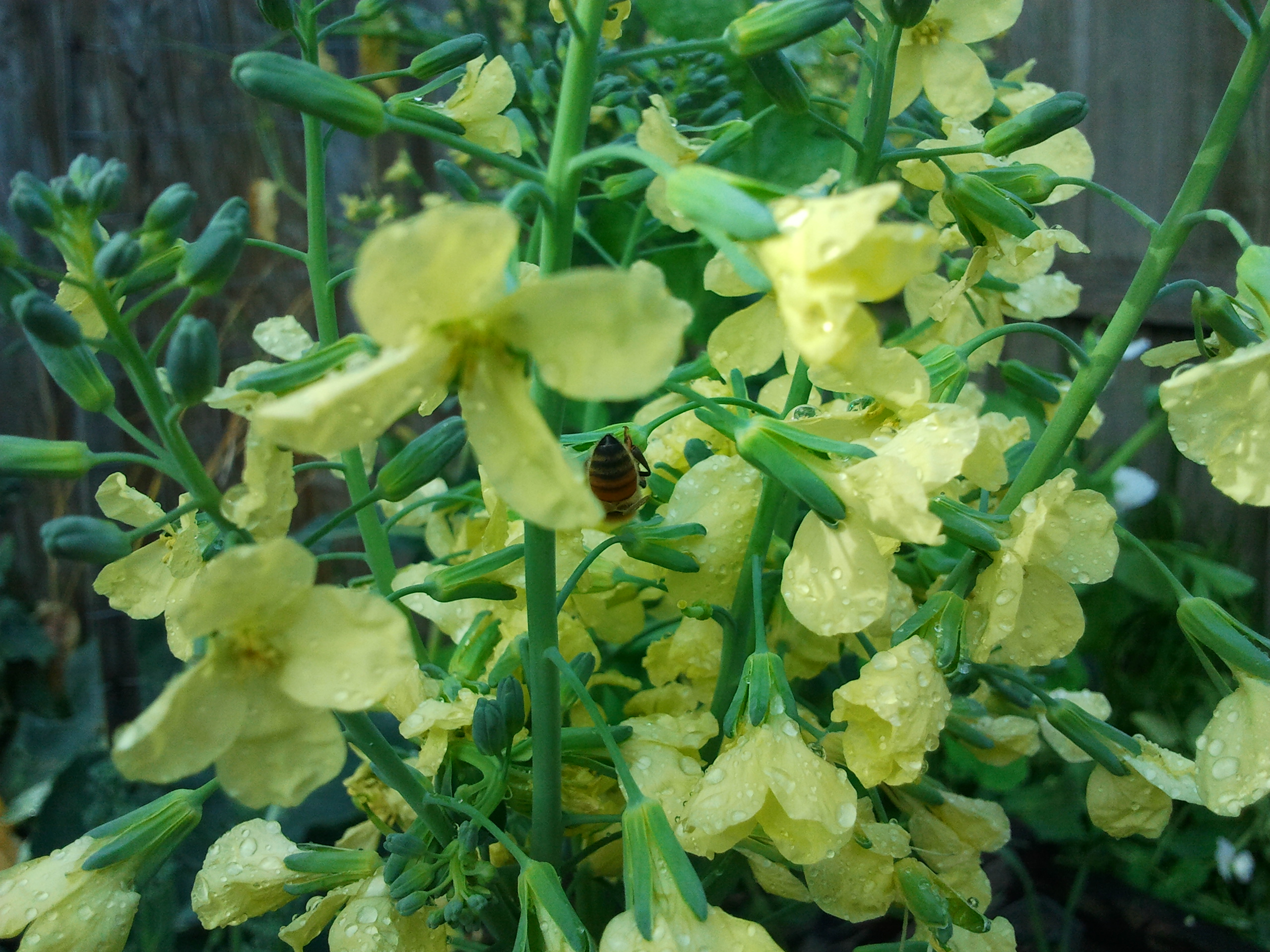 Broccoli flowers for bees ground to ground bee is having fun on the broccoli mightylinksfo