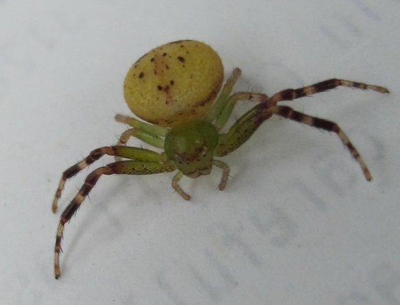 green spider yellow abdomen