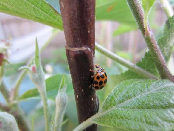ladybird on an apple tree