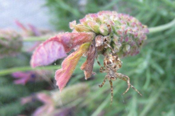 a spider living lavender
