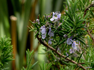Rosemary flowers blue