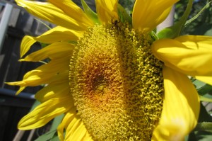sunflower in bloom