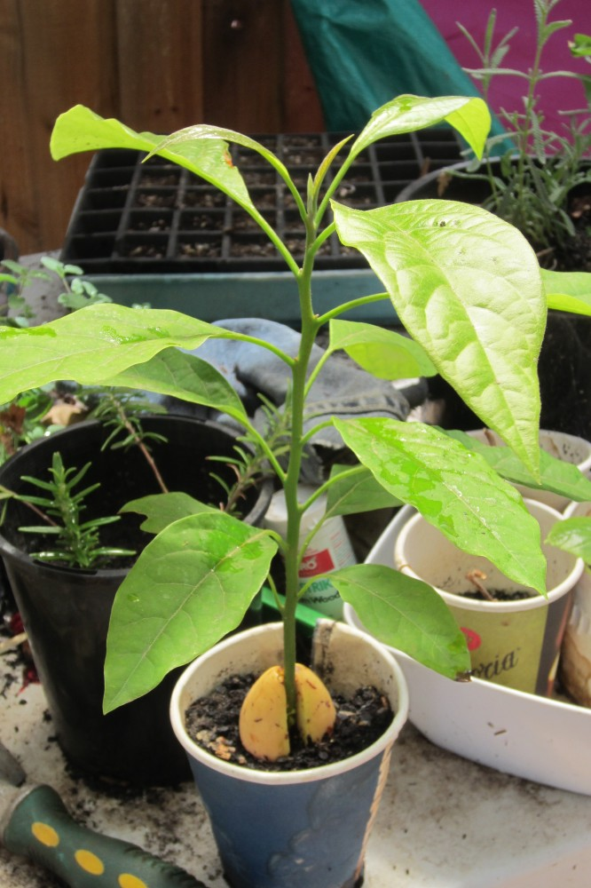 Growing Avocados from Seed (3/5)