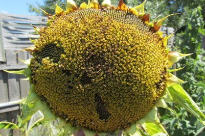 sunflower spent and old