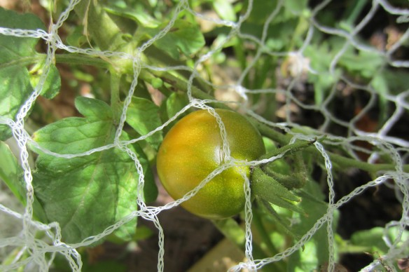 tomato vine grown from seed