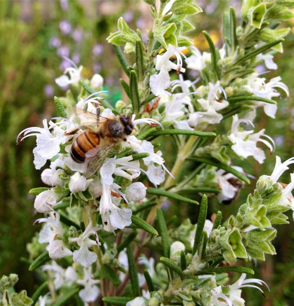 bees love rosemary