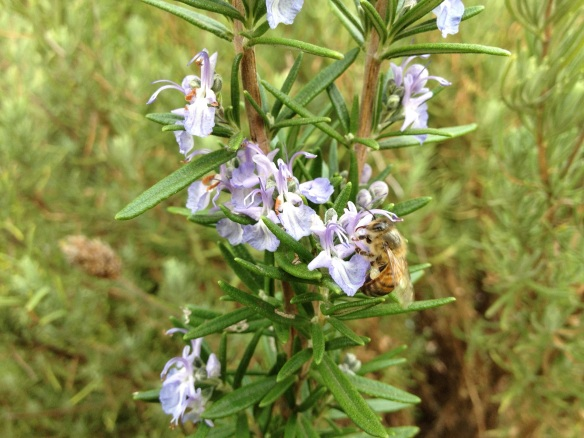rosemary in flower attracts bee
