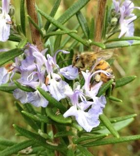 bee walking on blue flowers