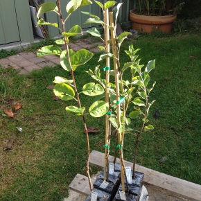 Planting Apple Trees in Autumn