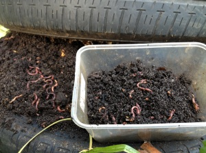 vermicast compost worms