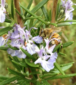 Bees on Rosemary