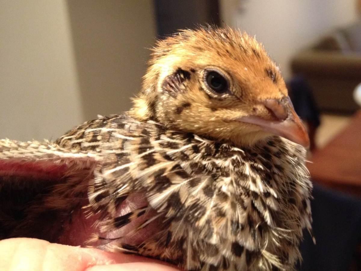 Japanese quail newly hatched