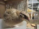a quail in dustbath