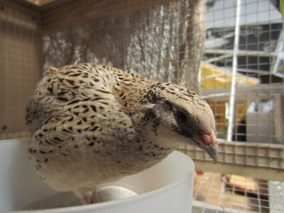 a quail in dustbath