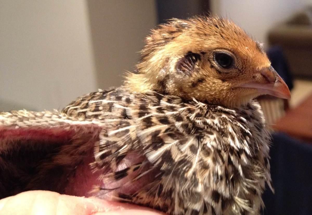 courtnix quail new born