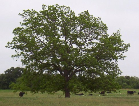 pecan tree low ph