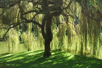 A willow tree near lake