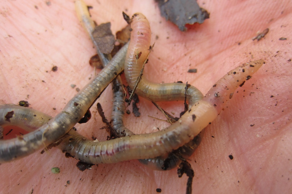 translucent earthworms