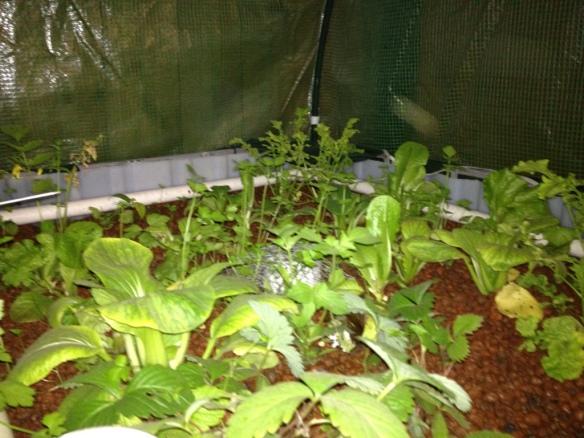 IBC aquaponics greenhouse