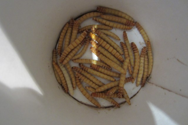 frozen mealworms preperation