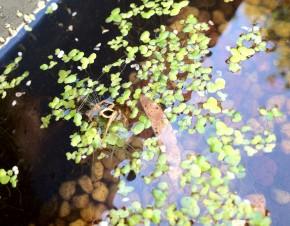 Water Spider HuntingMosquito