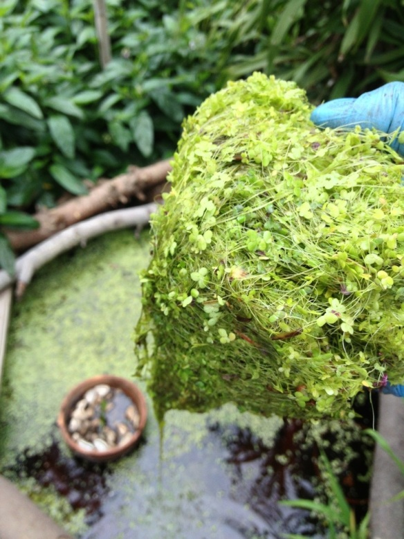 duckweed and azola in pond