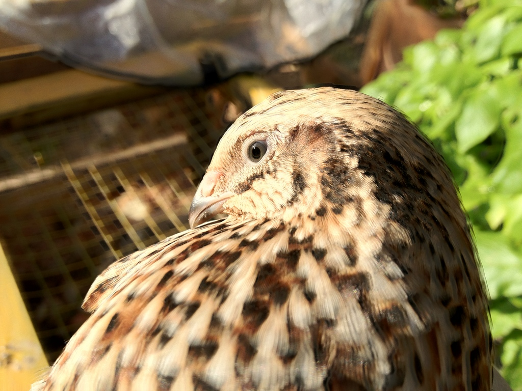 quail adult 6 weeks