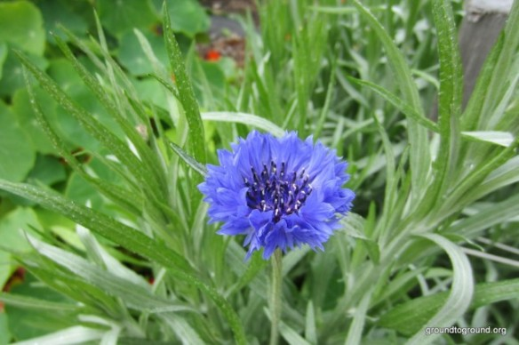 closeup of cornflower in green garden
