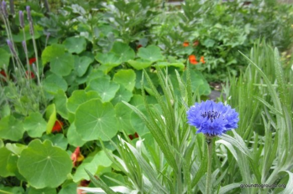 a blue cornflower in the garden