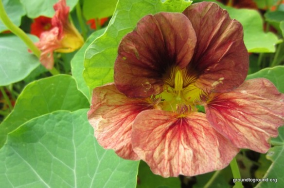 A cherry color nasturtium