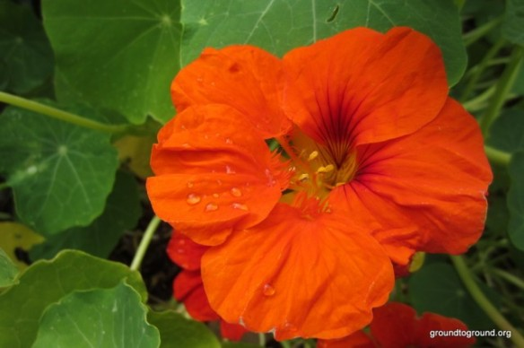 nasturtiums are growing around the lemon tree