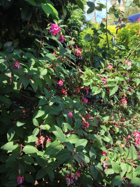 fuschia bush